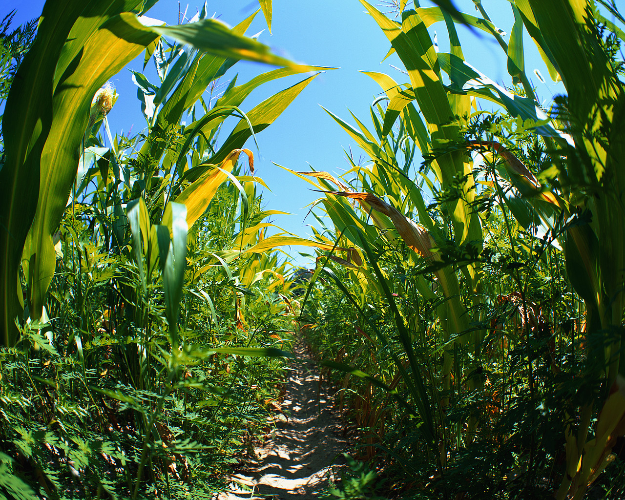 Trail Through Corn Field