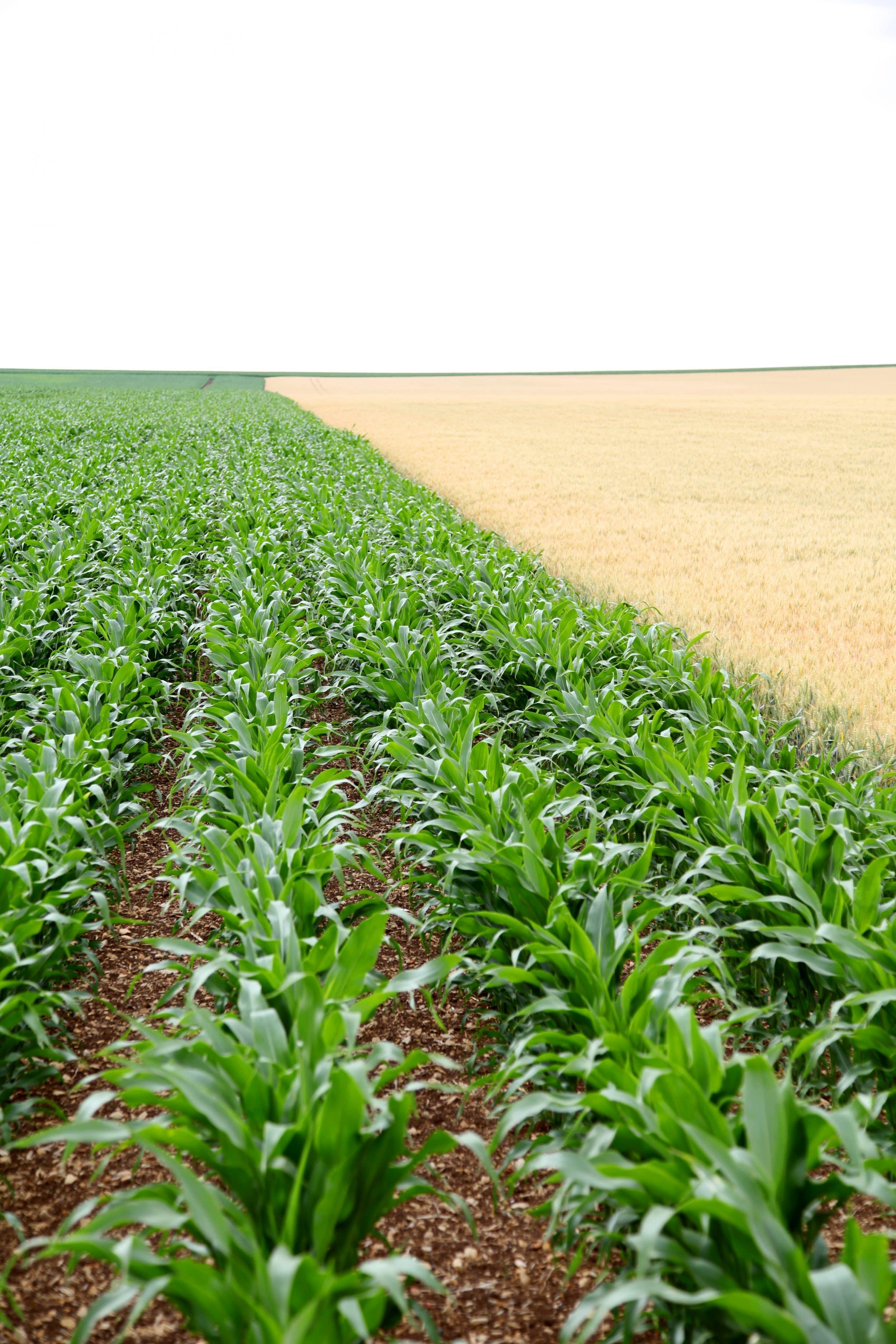 Closeup On Corn Crops