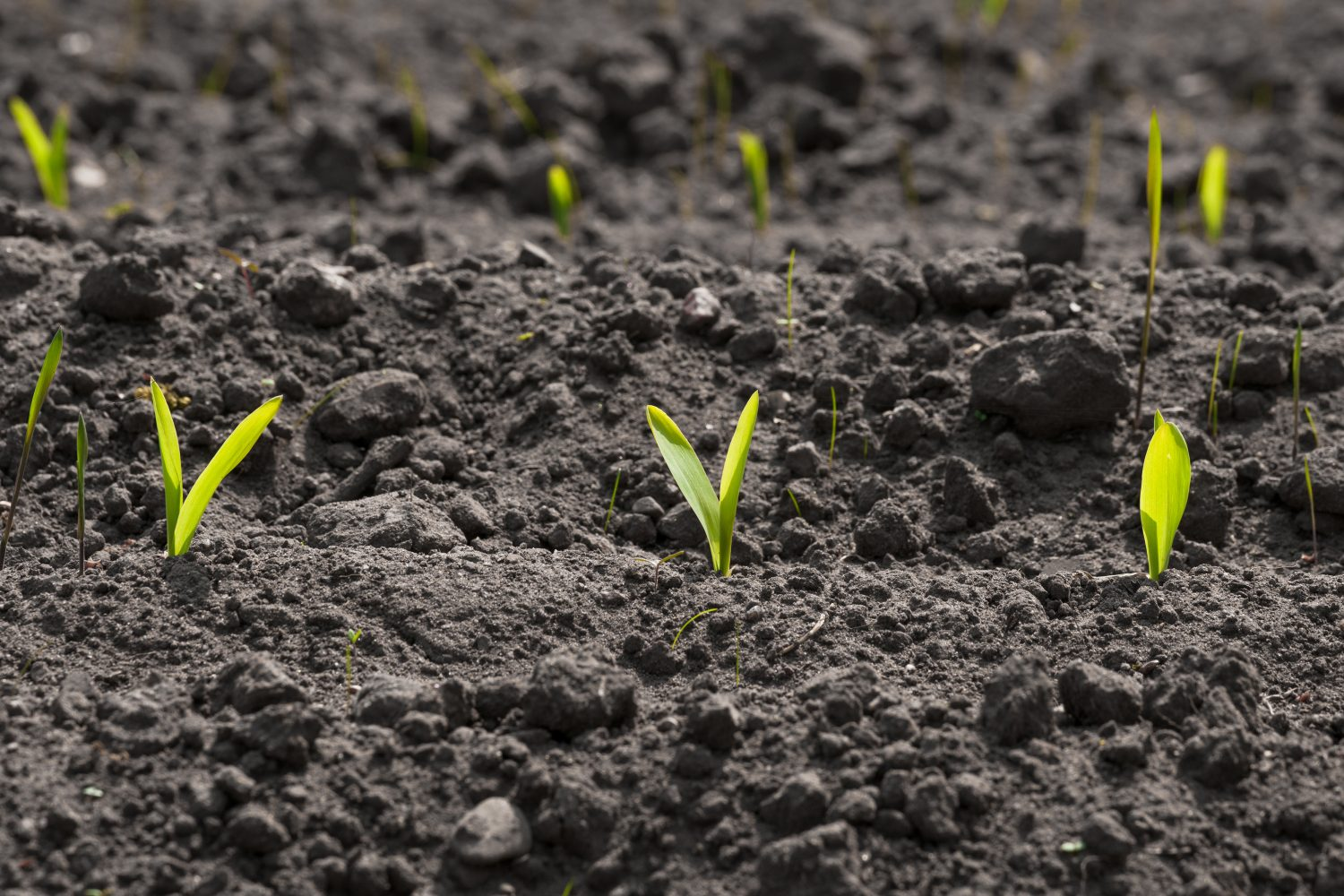 Corn Sprouts On A Row In The Soil