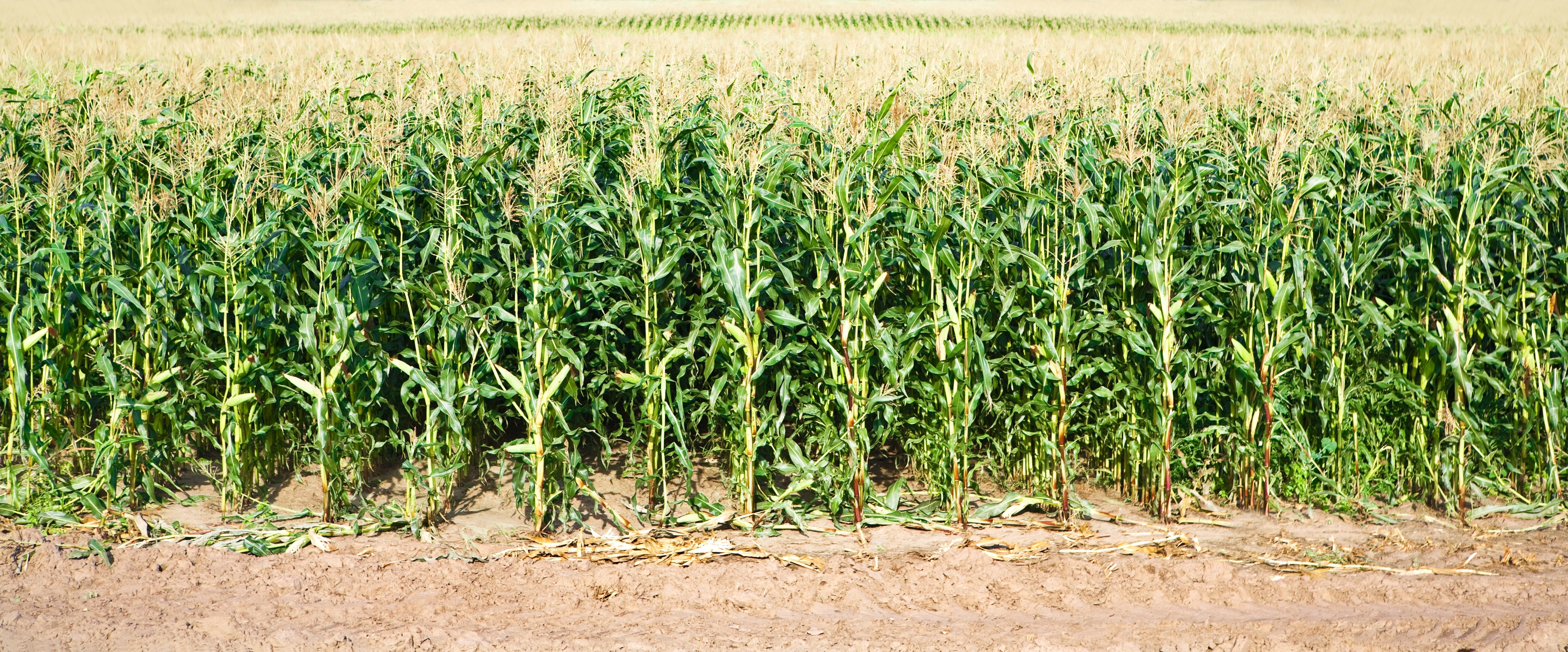 Corn, Soybean Conditions Hold Steady