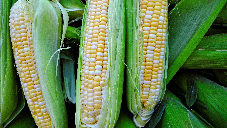 Corn Production Trimmed By 1.4 Billion Bushels